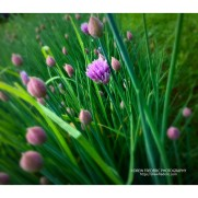 Chives_2017_3693
