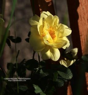 Yellow_RoseIMG_1545