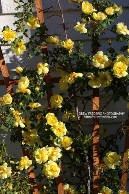 Yellow_Roses_IMG_1471