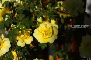 Yellow_Roses_IMG_1481