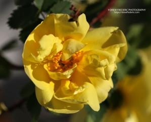 Yellow_Roses_IMG_1485