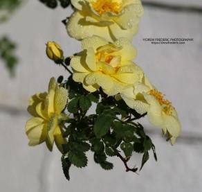 Yellow_Roses_IMG_1514