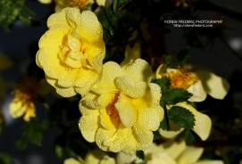 Yellow_Roses_IMG_1523