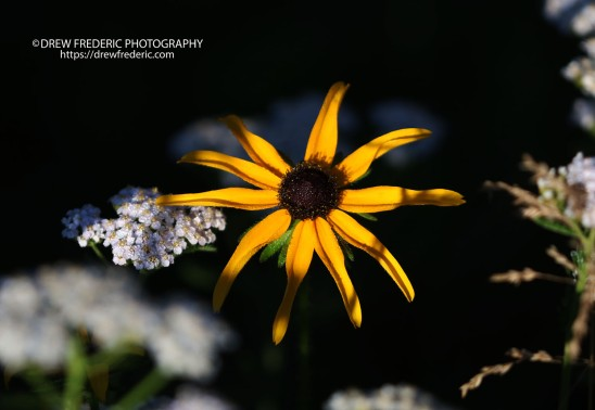 Blackeyed_Susan_IMG_0011