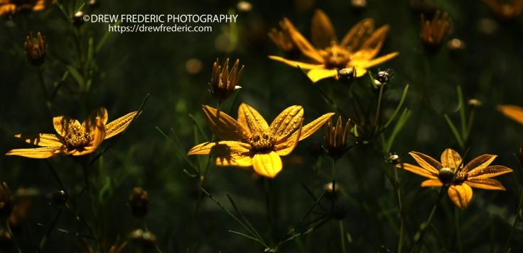 Yellow_Suns_IMG_9889